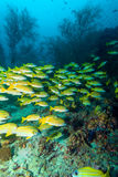 School of Yellow Fishes, Maldives Royalty Free Stock Photos