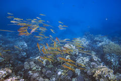School of yellow fishes over coral reef Royalty Free Stock Photos