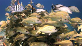 School yellow silver fish on reef search of food stock video footage