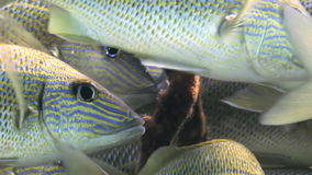 School yellow silver fish on reef search of food. School yellow silver fish on the reef in search of food. Amazing, beautiful underwater world Bahamas and the stock video footage