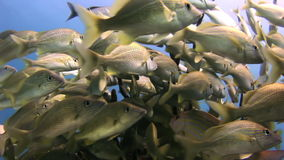 School yellow silver fish on reef search of food stock footage