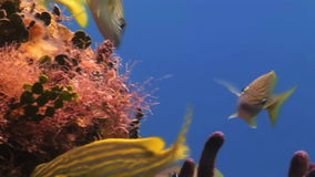 School yellow silver fish on reef search of food. School yellow silver fish on the reef in search of food. Amazing, beautiful underwater world Bahamas and the stock footage