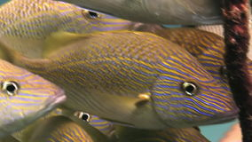 School yellow silver fish on reef search of food stock video