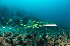 School Yellow snapper Fish in Sipadan Stock Images