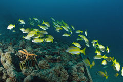 School Yellow snapper Fish Royalty Free Stock Images
