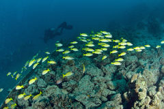 School Yellow snapper Fish Stock Photos