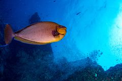 Yellow Snapper Lutjanidae while diving maldives Royalty Free Stock Images