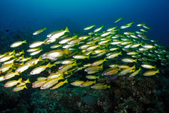School of yellow snapperfish in Tachai Similan, Thailand. Royalty Free Stock Photography