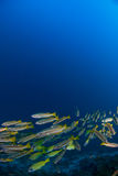School of yellow snappers. Over coral reef Stock Image
