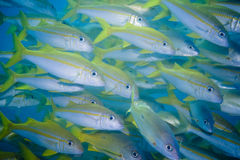 School of Yellow Snappers Royalty Free Stock Image
