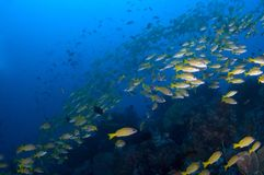 School of yellow snappers over reef. Indonesia Sulawesi Lembehst. Reet Royalty Free Stock Image