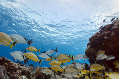 School of yellow striped black tail fish swimming on coral reef off Cozumel Stock Photography