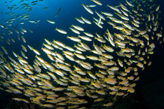 School of yellow tail fish Stock Image