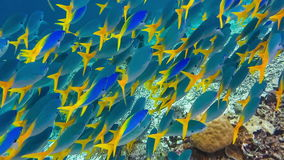 School of yellow tail fusilier, Caesio cuning, moving along the coral riff , Raja Ampat, Indonesia stock footage
