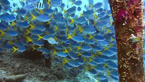 School of yellow tail fusilier, Caesio cuning, swimming around the pier pole, Raja Ampat, Indonesia.  stock video