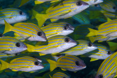 School of yellow tail fusiliers Royalty Free Stock Photos