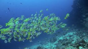 School of yellow tropical fish on reef in sea. A flock school of tropical fish on the reef in search of food. Amazing, beautiful underwater marine life world of stock footage