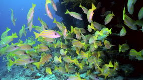 School of yellow tropical fish on reef in sea. stock video footage