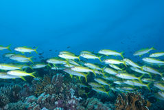 A school of Yellowfin goatfish Royalty Free Stock Photo
