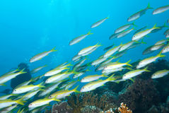 A school of Yellowfin goatfish Royalty Free Stock Images