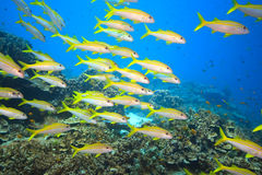School of Yellowfin goatfish Royalty Free Stock Photo