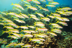 School of Yellowfin goatfish Stock Images