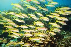 School of Yellowfin goatfish Stock Images