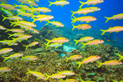 School of Yellowfin goatfish Royalty Free Stock Photography