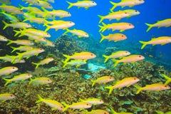School of Yellowfin goatfish royalty free stock photography