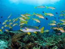 Mixed School of yellow reef fishes in Komodo National Park stock photo