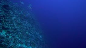 School of Yellowspotted trevally Carangoides fulvoguttatus   in coral of Red sea Sudan. Shaab Rumi stock video