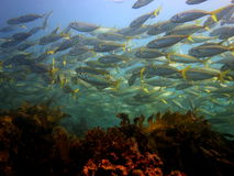 School of Yellowtail Scad Royalty Free Stock Image