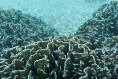 School of young fish swimming near reef and coral. Beautiful underwater shot. Marine life. School of young little fish swimming near reef and coral. Underwater stock images