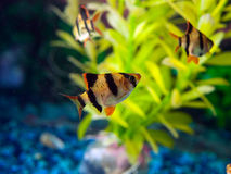 School of Zebra Tetra fish. Small aquarium fish the Zebra Tetras are a fun fish to keep. With green plant background Royalty Free Stock Photography
