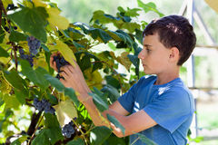 Schoolboy picking grapes from vines Stock Image