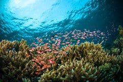 Schooler fish bunaken sulawesi indonesia underwater Royalty Free Stock Images