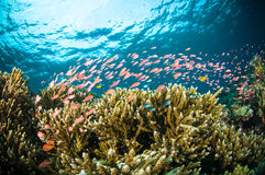 Schooler fish bunaken sulawesi indonesia underwater Stock Photography