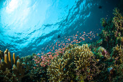 Schooler fish bunaken sulawesi indonesia underwater photo Royalty Free Stock Photos