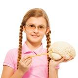 Schoolgirl in glasses holding cerebrum model. Schoolgirl in glasses with two long plaits holding cerebrum model and yellow pointer, isolated on white stock photography