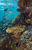 Schooling anthias fish. Hover over coral reef underwater menjangan island stock image