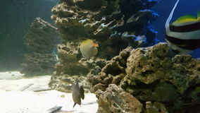 Schooling bannerfish, also known as the false Moorish idol. stock video