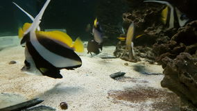 Schooling bannerfish, also known as the false Moorish idol stock footage video. Schooling bannerfish in beautifully decorated Marine Aquarium stock footage video stock video footage