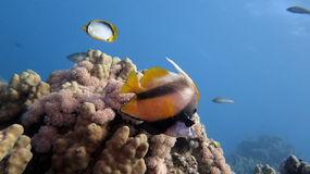 Schooling Bannerfish Stock Images