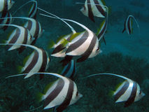 Schooling Bannerfish - Heniochus diphreutes. Group of Schooling Bannerfish - Heniochus diphreutes Stock Photography