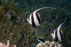 Schooling bannerfish (heniochus diphreutes) Stock Images
