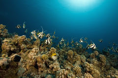 Schooling bannerfish (heniochus diphreutes) Stock Photography
