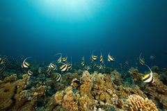 Schooling bannerfish (heniochus diphreutes) Royalty Free Stock Photos