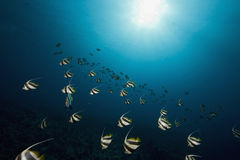Schooling bannerfish (heniochus diphreutes) Royalty Free Stock Photography