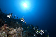 Schooling bannerfish, ocean and coral Stock Images