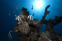 Schooling bannerfish, ocean and coral Royalty Free Stock Photo